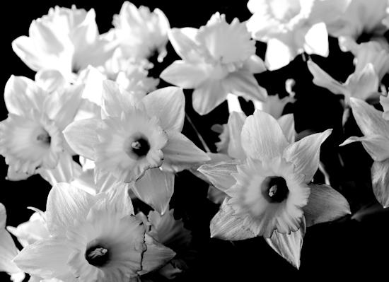 Gothic Daffodils